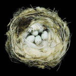 Nests : Fifty Nests and the Birds That Built Them - Sharon Beals