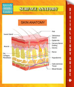 Surface Anatomy Speedy Study Guides - Speedy Publishing