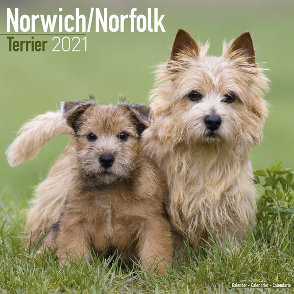 AD-NT2PL Norfolk-Norwich Terrier Dog Gold Rim Plate in Gift Box Christmas Prese