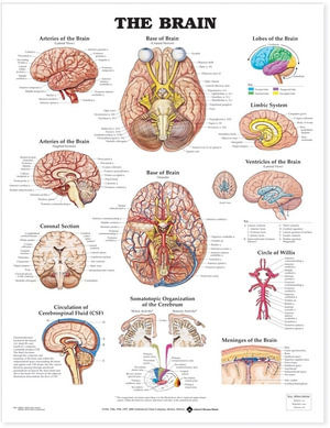 Cover of The Brain